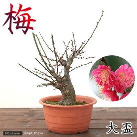 (盆栽)梅 オオサカズキ(大盃) 6号(1鉢)