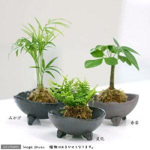 (観葉植物)苔玉 おまかせ観葉 Ver.水苔(1個) コケ玉