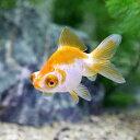 (国産金魚)更紗出目金(サラサデメキン)(1匹)