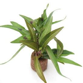 (水草)ライフマルチ(茶) ポリゴナムミックス(水上葉)(無農薬)(1個)