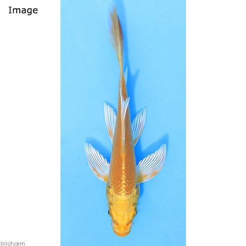 (錦鯉)ヒレナガニシキゴイ Lサイズ 14〜18cm(1匹)