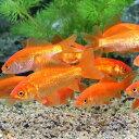 (金魚)生餌 小和金(コワキン) エサ用金魚(10匹) エサ金 餌金