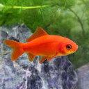 (国産金魚)紅葉和金(モミジワキン)(3匹)