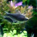 (熱帯魚)ブラックエンペラー・テトラ(3匹)