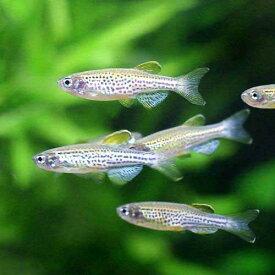 (熱帯魚)レオパード・ダニオ(10匹)
