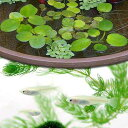 (めだか 水草)白メダカ初心者セット 白メダカ(6匹) + おまかせ浮き草3種セット