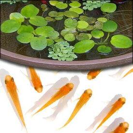 (めだか)(水草)楊貴妃メダカ初心者セット 楊貴妃メダカ(6匹)+ おまかせ浮き草3種セット