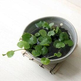 (水草)私の小さなアクアリウム 〜ときめき かわいい丸葉のアマゾンチドメグサ(益子焼 脚付中鉢 白)〜 本州四国限定