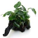 (水草)アヌビアスナナ&おまかせモス 流木付 Mサイズ(1本)(約20cm)