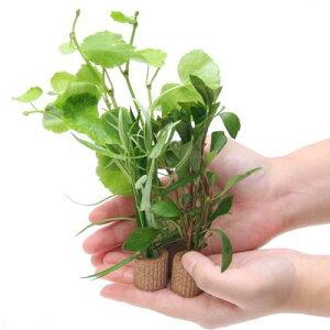 (水草)置くだけ簡単 ライフマルチ(茶) おまかせ有茎草3種(水上葉)(無農薬)(計3個)