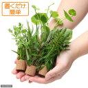 (水草)置くだけ簡単 ライフマルチ(茶) おまかせ有茎草5種(水上葉)(無農薬)(計5個)