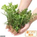 (水草)置くだけ簡単 ライフマルチ(茶) おまかせ有茎草10種(水上葉)(無農薬)(計10個)