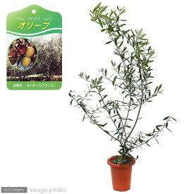 (観葉植物)果樹苗 オリーブ ネバディロブランコ 5号(1鉢) 家庭菜園