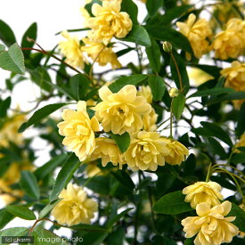 (観葉植物)モッコウバラ(花色おまかせ) 3.5〜4号(1鉢)