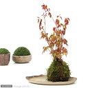 (観葉)私の小さな日本庭園 〜益子焼と苔玉盆栽 もみじ〜
