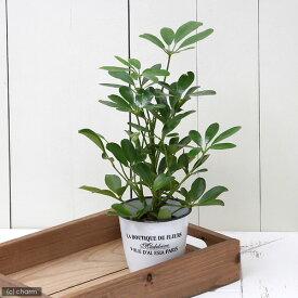 (観葉植物)ハイドロ苗9φ・Lサイズ シェフレラ ホンコン(1ポット) 北海道冬季発送不可