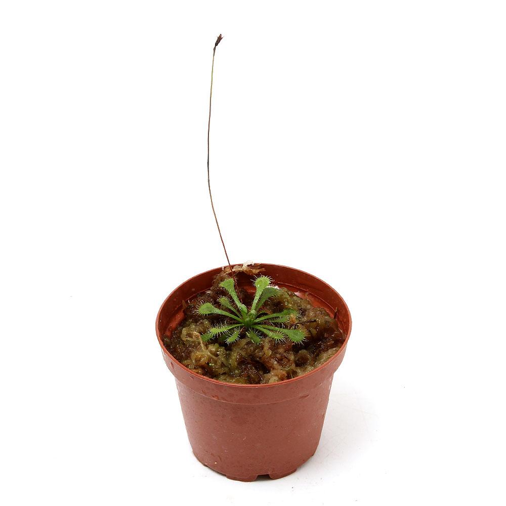 (食虫植物)トウカイコモウセンゴケ 2号(1ポット)