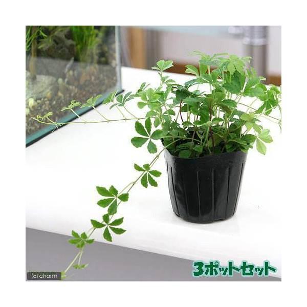 (観葉植物)パーセノシッサス シュガーバイン 3号(お買い得3ポットセット)