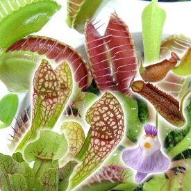 (食虫植物)おまかせ食虫植物 3号(1ポット)