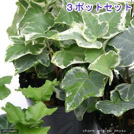 (観葉植物)ヘデラ(アイビー)(品種おまかせ) 3号( 3ポットセット)