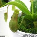 食虫植物 ウツボカズラ ネペンテス