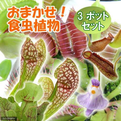 (食虫植物)おまかせ食虫植物 (3ポットセット)
