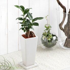 (観葉植物)ガジュマル 陶器鉢植え タワーS WH(1鉢) 受け皿付き【HLS_DU】