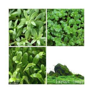 (水草)前景草3種セット(無農薬)グロッソ・キューバパール・ベトナムゴマノハグサ