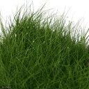 (水草)ヘアーグラス ショート(水上葉)大盛り土付き(無農薬)(1パック)