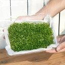 (水草)グロッソスティグマ(水上葉)大盛り 土付き(無農薬)(1パック) 北海道航空便要保温