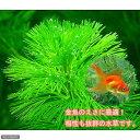 (水草)メダカ・金魚藻 エサ用カボンバ(バラ50本)