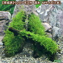 (水草)育成済 ウィローモス 流木 Mサイズ(約20cm)(無農薬)(1本) 北海道航空便要保温