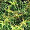 (Aquatic plants) Lothar rotundifolia Fujian (organic) (5 pieces)