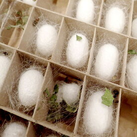(昆虫)蚕 飼育セット 絹糸作出キット 自由研究 説明書付き  本州四国限定