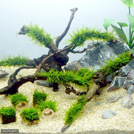 (水草)育成済 ジャイアント南米ウィローモス 枝状流木 Mサイズ(約20cm〜)(無農薬)(1本)