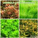 (水草)水草管理スタッフお勧め水草セット(無農薬)(10種80本)(完全水中葉) 熱帯魚