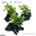 (水草)流木 ザ ボンサイ Sサイズ(水上葉)(無農薬)(3本)(約15cm) 北海道航空便要保温