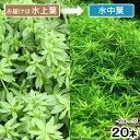 (水草)ベトナムゴマノハグサ(水上葉)(無農薬)(20本)