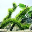 (水草)育成済 ウィローモス スティック流木 Lサイズ(約25cm)(無農薬)(1本)