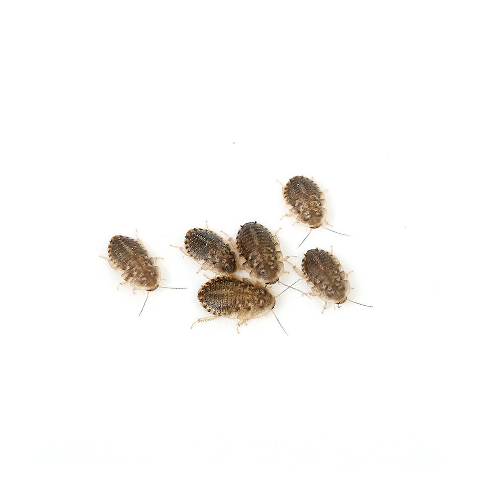 (生餌)デュビア(アルゼンチンモリゴキブリ) Sサイズ 5グラム(約100匹) 爬虫類 大型魚 餌 エサ 北海道・九州航空便要保温