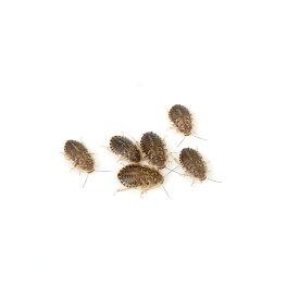 (生餌)デュビア(アルゼンチンモリゴキブリ) SSサイズ(旧Sサイズ) 5グラム(約100匹) 沖縄・離島不可 タイム便・航空便不可