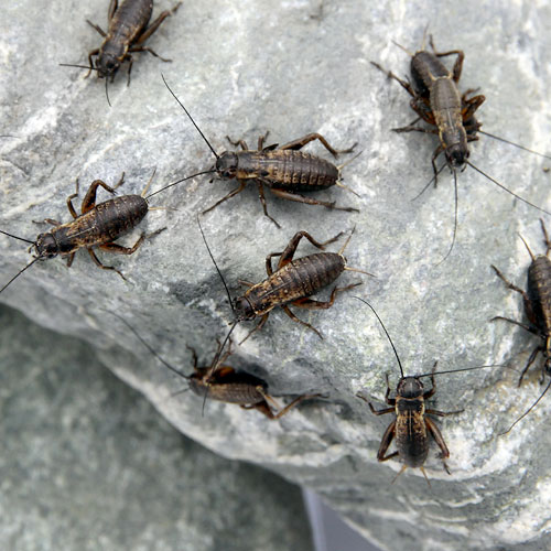 (生餌)フタホシコオロギ S 1.0グラム(約20匹) 爬虫類 両生類 餌 エサ 北海道・九州航空便要保温