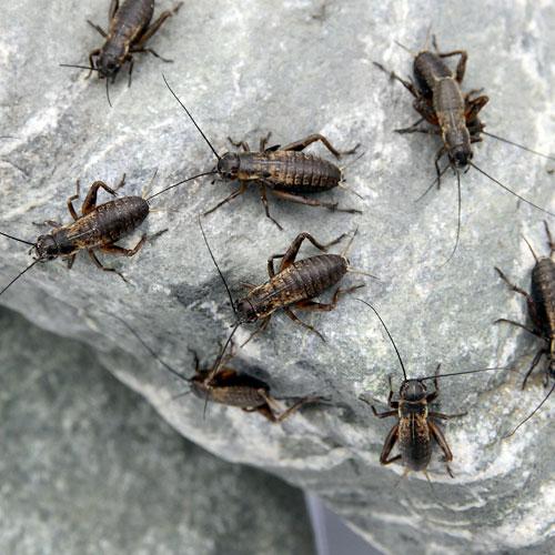 (生餌)フタホシコオロギ S 6.0グラム(約120匹) 爬虫類 両生類 餌 エサ 北海道・九州航空便要保温