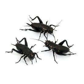 (生餌)クロコオロギ(フタホシコオロギ) ML 10グラム(約15匹) 爬虫類 両生類 大型魚 餌 エサ 沖縄・離島不可 タイム便・航空便不可