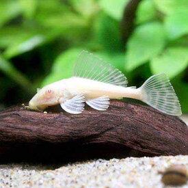 (熱帯魚)アルビノセルフィン・プレコ(1匹) 北海道・九州航空便要保温