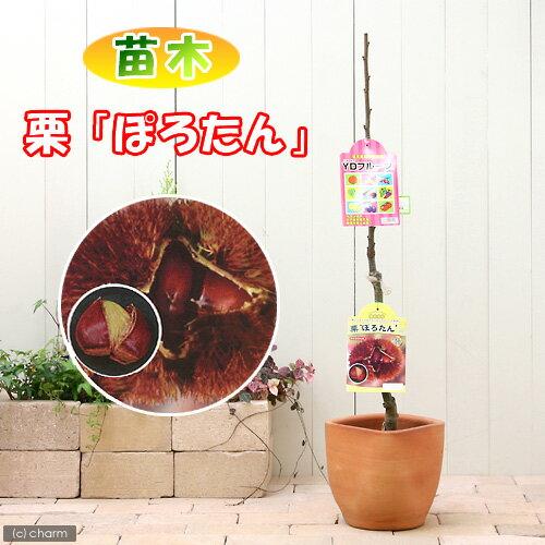 (観葉植物)果樹苗 クリ ぽろたん 苗木 4.5号(1ポット) 家庭菜園