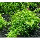 (水草)育成済 南米ウィローモス 流木 ミニサイズ(8cm以下)(無農薬)(1本)