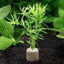 (水草)ライフマルチ(茶) グリーンロタラ(水中葉)(無農薬)(1個) 北海道航空便要保温