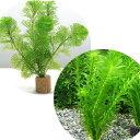 (水草)ライフマルチ(茶) メダカ・金魚藻セット(3セット)