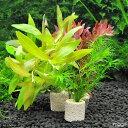 (水草)ライフマルチ(茶) おまかせ水草1種(水中葉)(無農薬)(3個) 北海道航空便要保温